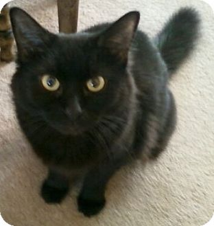 Domestic Mediumhair Cat for adoption in Springfield, Pennsylvania - Nancy