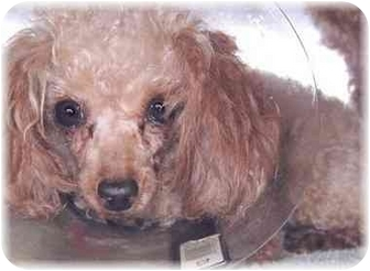 Poodle (Toy or Tea Cup) Dog for adoption in Grass Valley, California - Fire
