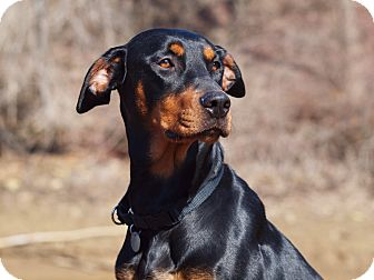 Doberman Pinscher Dog for adoption in Columbus, Ohio - Cassie