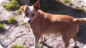 Australian Cattle Dog/Chihuahua Mix Dog for adoption in Jersey City, New Jersey - Heidi Holland