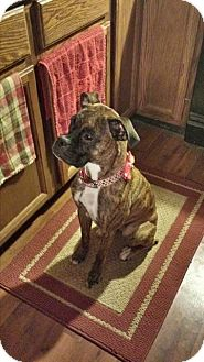 Boxer Dog for adoption in New Philadelphia, Ohio - Baby Girl