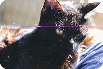 Domestic Shorthair Cat for adoption in Fallbrook, California - Huncha Muncha
