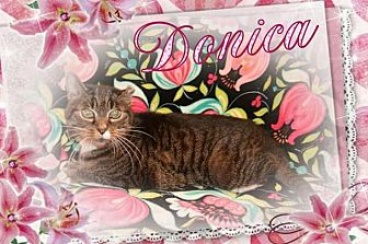 Domestic Shorthair Cat for adoption in Brainardsville, New York - Donica