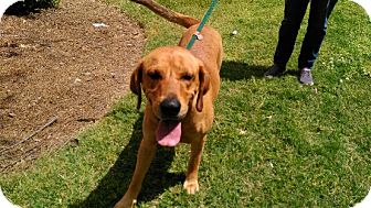 Labrador Retriever/Redbone Coonhound Mix Dog for adoption in Great Falls, Virginia - Maverick