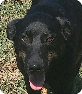 Labrador Retriever/Shepherd (Unknown Type) Mix Dog for adoption in Foster, Rhode Island - Newby