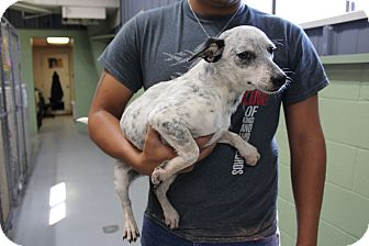 Cattle Dog Mix Dog for adoption in Odessa, Texas - A30 Susan