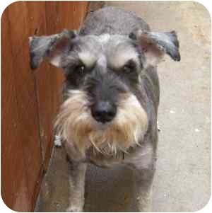Schnauzer (Miniature) Dog for adoption in Redondo Beach, California - Hank