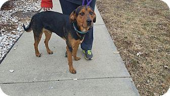 Rottweiler/Hound (Unknown Type) Mix Dog for adoption in Hainesville, Illinois - Melvin