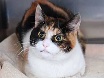Domestic Shorthair Cat for adoption in Long Beach, California - Cloud