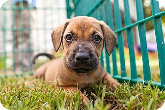 Labrador Retriever/Hound (Unknown Type) Mix Puppy for adoption in Raleigh, North Carolina - Olive