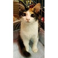 Adopt A Pet :: PEBBLES - Diamond Bar, CA