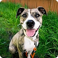 Adopt A Pet :: WANDA - PETITE PITTY 39 lbs.of play and love - Seattle, WA