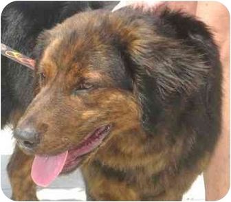 Shepherd (Unknown Type)/Rottweiler Mix Puppy for adoption in Upper Marlboro, Maryland - WAYLON