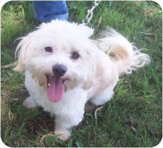 Poodle (Miniature)/Maltese Mix Dog for adoption in Sacramento, California - Oakley