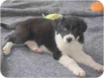 Labrador Retriever Mix Puppy for adoption in Evergreen, Colorado - Hilton