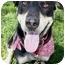 Photo 3 - Labrador Retriever/Doberman Pinscher Mix Dog for adoption in Sacramento, California - Daphne BEST DOG
