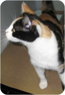 Domestic Shorthair Cat for adoption in Trenton, New Jersey - Shauna (Adopted)