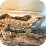Lizard for adoption in Wheaton, Illinois - Angelo