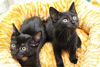 Domestic Shorthair Kitten for adoption in Chicago, Illinois - Dexter & Dwayne