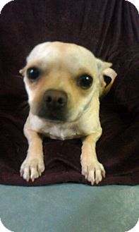 Chihuahua Mix Dog for adoption in Waldorf, Maryland - Rosie #364