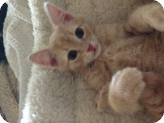 American Shorthair Kitten for adoption in Weatherford, Texas - Widdle