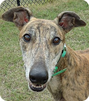 Greyhound Dog for adoption in Longwood, Florida - Backwood Patton