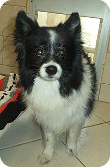 Pomeranian/Sheltie, Shetland Sheepdog Mix Dog for adoption in Middletown, New York - Bandit
