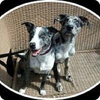 Adopt A Pet :: DALLAS-JJ - Roundup, MT