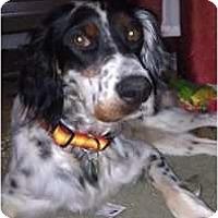Adopt A Pet :: Abe Fitzwilliam - Columbus, OH