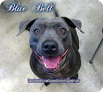 Labrador Retriever/Weimaraner Mix Dog for adoption in Irving, Texas - Bluebell