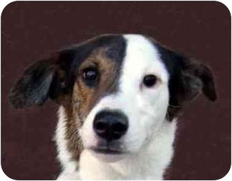 Collie/Greyhound Mix Dog for adoption in New York, New York - Igor