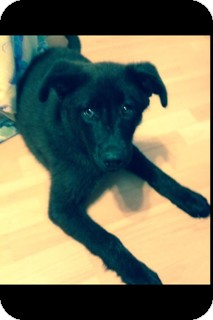 Labrador Retriever/Husky Mix Puppy for adoption in Vancouver, British Columbia - George
