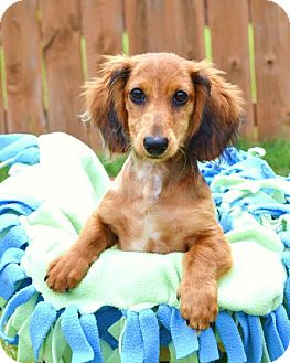 Dachshund Puppy for adoption in Westport, Connecticut - *Marvin - PENDING