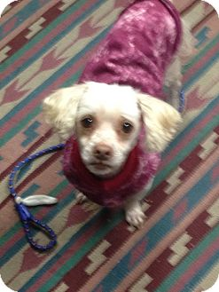 Poodle (Miniature)/Terrier (Unknown Type, Small) Mix Dog for adoption in Ogden, Utah - Lucky