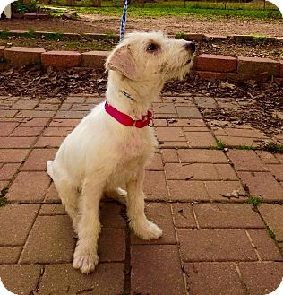 Jack Russell Terrier Mix Puppy for adoption in Seattle, Washington - Delilah