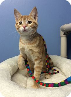 Domestic Shorthair Kitten for adoption in Germantown, Tennessee - Sunny