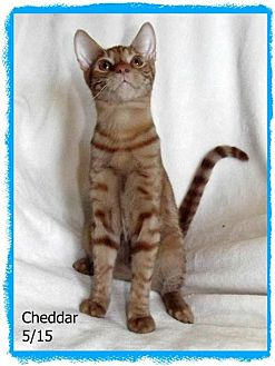 Domestic Shorthair Kitten for adoption in Plain City, Ohio - Cheddar