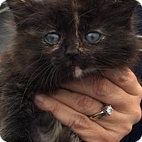 Adopt A Pet :: Ziwi - Woodstock, GA