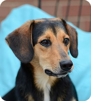 Beagle/Dachshund Mix Dog for adoption in Media, Pennsylvania - Theo