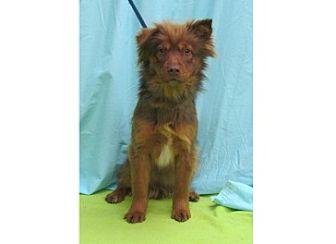 Nova Scotia Duck-Tolling Retriever Mix Dog for adoption in Waldorf, Maryland - Rusty