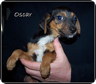 Dachshund Mix Puppy for adoption in Milford, New Jersey - Oscar