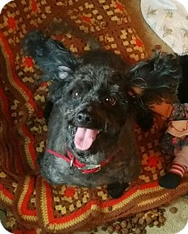 Poodle (Miniature) Dog for adoption in Palmyra, New Jersey - INKY