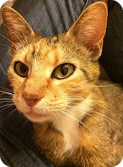 Domestic Shorthair Cat for adoption in Tampa, Florida - Ainslee