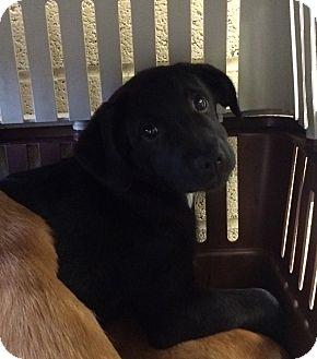 Retriever (Unknown Type) Mix Puppy for adoption in Greensburg, Pennsylvania - Arianna