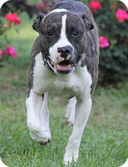 American Pit Bull Terrier Dog for adoption in Warner Robins, Georgia - Yager