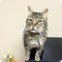 Manx Cat for adoption in Quilcene, Washington - Bob