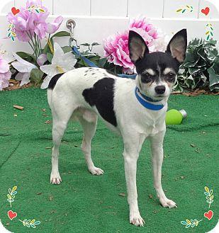 Chihuahua Mix Dog for adoption in Marietta, Georgia - DEWIE