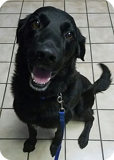 Flat-Coated Retriever/Retriever (Unknown Type) Mix Dog for adoption in Spring Valley, New York - Tripp