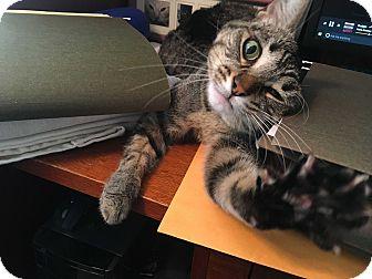 Domestic Shorthair Cat for adoption in McKinney, Texas - Dixie