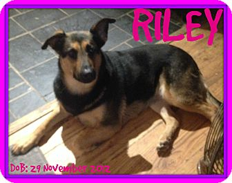 German Shepherd Dog Dog for adoption in Albany, New York - RILEY